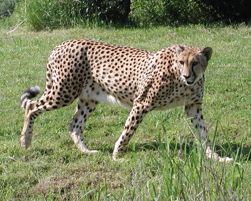 Cheetah_walking